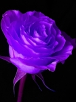 Black Light Rose