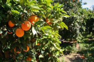 Orange Tree1