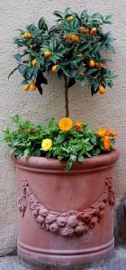 orangeTree-Pot1