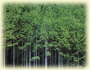 Japanese Cypress Forest